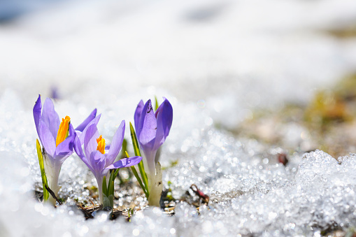 Melting「Purple Crocus growing in the early spring through snow」:スマホ壁紙(7)