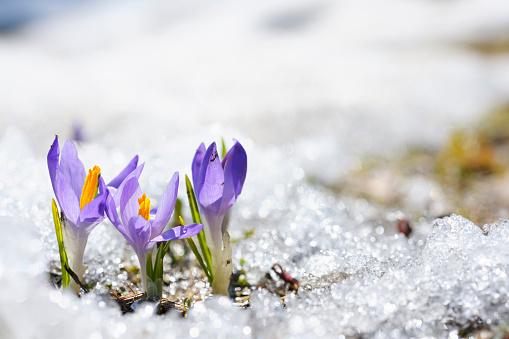 Sun「Purple Crocus growing in the early spring through snow」:スマホ壁紙(4)