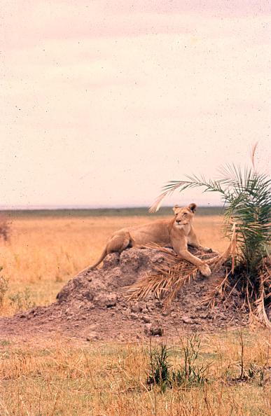 野生動物「Lioness In Tanzania」:写真・画像(8)[壁紙.com]