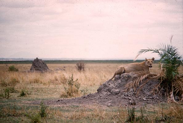 野生動物「Lioness In Tanzania」:写真・画像(9)[壁紙.com]