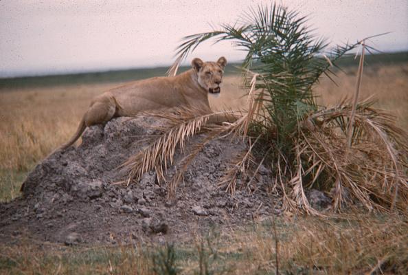 野生動物「Lioness In Tanzania」:写真・画像(2)[壁紙.com]