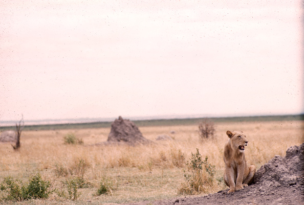 野生動物「Lioness In Tanzania」:写真・画像(1)[壁紙.com]