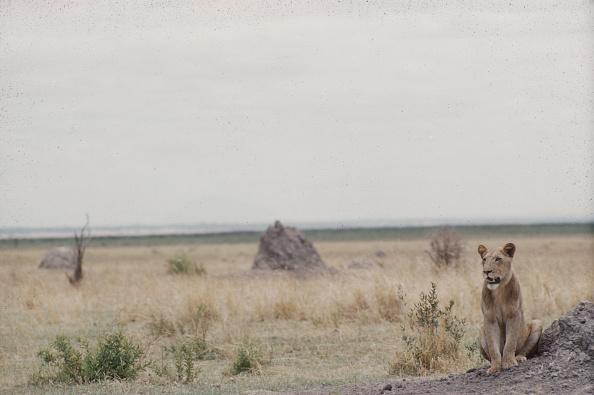 野生動物「Lioness In Tanzania」:写真・画像(7)[壁紙.com]