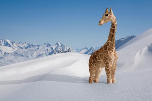 Giraffe「Giraffe stuck in the snow」:スマホ壁紙(10)