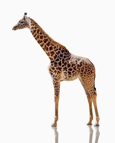 Giraffe「Giraffe Studio Shot On White」:スマホ壁紙(3)