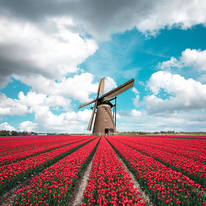Mill「Colorful Tulip Field With Traditional Dutch Windmill」:スマホ壁紙(18)