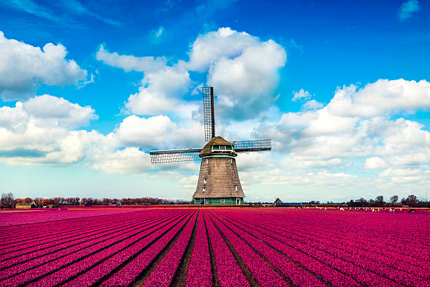 Colorful Tulip Fields in front of a Traditional Dutch Windmill:スマホ壁紙(壁紙.com)