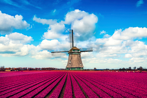Netherlands「Colorful Tulip Fields in front of a Traditional Dutch Windmill」:スマホ壁紙(5)