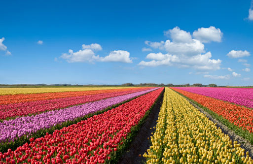 Netherlands「Colorful Tulips」:スマホ壁紙(2)