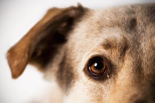 Animal Eye「Dog portrait of a Shepherd Lab Mix」:スマホ壁紙(14)