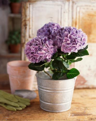 あじさい「Pot of purple hydrangeas」:スマホ壁紙(9)
