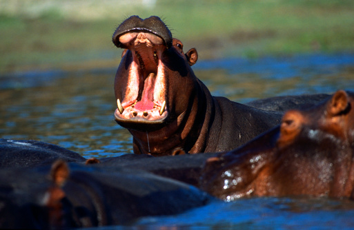 Hippopotamus「Hippo」:スマホ壁紙(11)