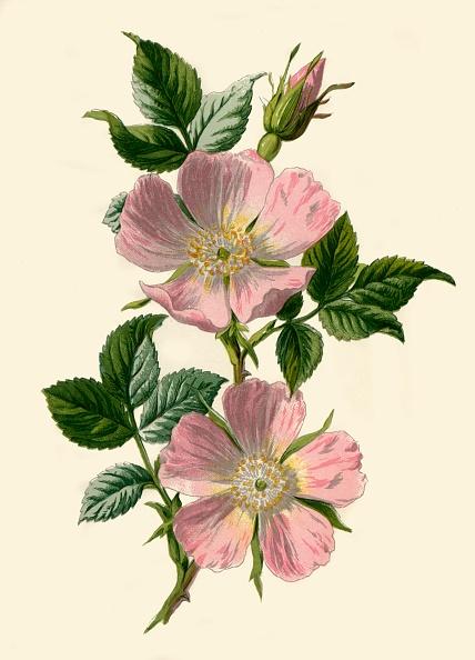 Illustration「Dog-Rose」:写真・画像(14)[壁紙.com]