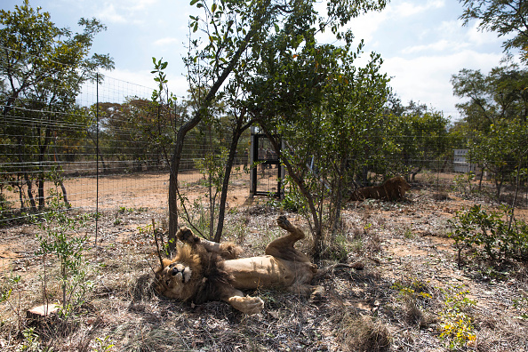 Big Cat「Thirty Three Former Circus Lions Are Airlifted Back To South African Sanctuary」:写真・画像(8)[壁紙.com]