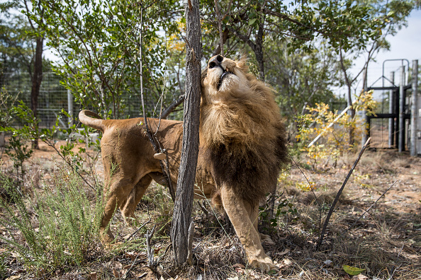 Southern Africa「Thirty Three Former Circus Lions Are Airlifted Back To South African Sanctuary」:写真・画像(17)[壁紙.com]