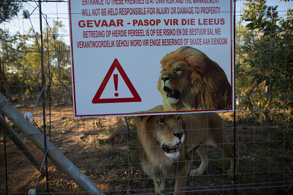 Southern Africa「Thirty Three Former Circus Lions Are Airlifted Back To South African Sanctuary」:写真・画像(13)[壁紙.com]