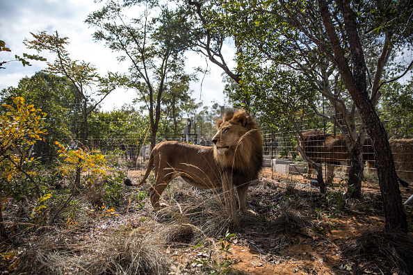 Three Lions「Thirty Three Former Circus Lions Are Airlifted Back To South African Sanctuary」:写真・画像(15)[壁紙.com]