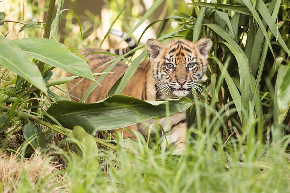 Cub「Rare Sumatran Tiger Cubs Make Public Debut At Taronga Zoo」:写真・画像(10)[壁紙.com]