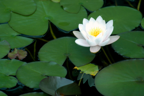 Water Lily「Bright White Water Lily」:スマホ壁紙(16)