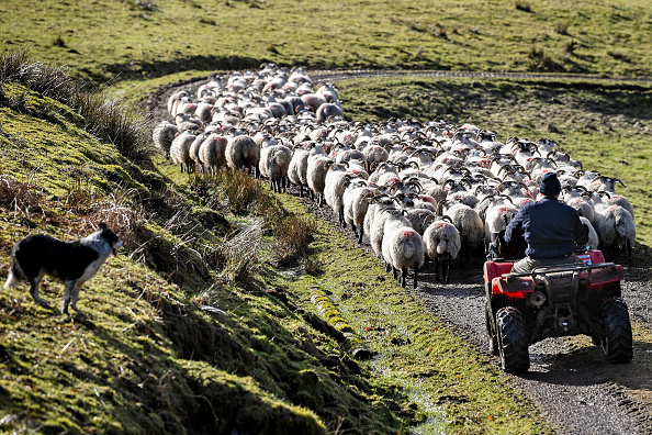Farm「UK Hill Farmers Face Uncertain Future As Brexit Looms」:写真・画像(16)[壁紙.com]