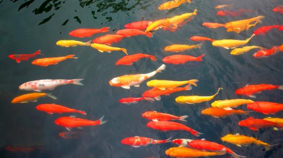 Carp「Fish in pool」:スマホ壁紙(14)