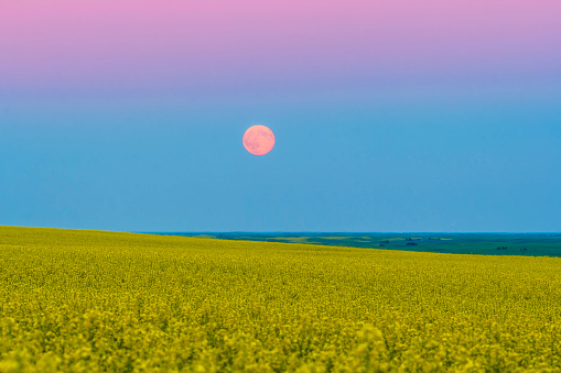 Supermoon「The supermoon rising above a canola field in southern Alberta, Canada.」:スマホ壁紙(7)