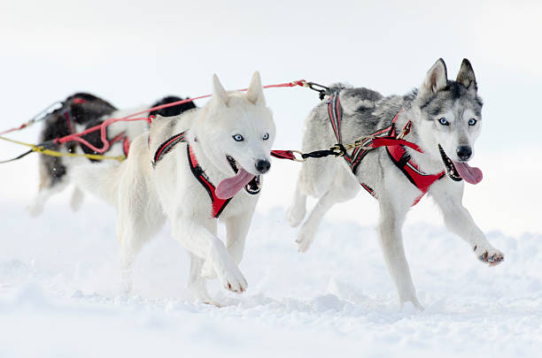 Group of husky sled dogs running in snow:スマホ壁紙(壁紙.com)