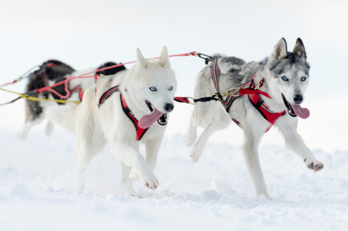 Dogsledding「Group of husky sled dogs running in snow」:スマホ壁紙(5)