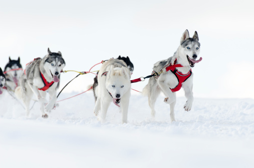 Dogsledding「Group of husky sled dogs running in snow」:スマホ壁紙(3)