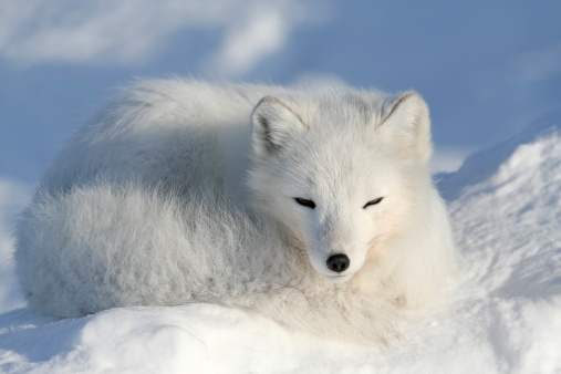 Fox「Alopex lagopus.」:スマホ壁紙(12)