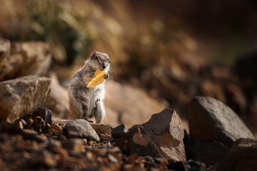 リス「Barbary Ground Squirrel eating a crisp, Fuerteventura, Canary Islands, Spain」:スマホ壁紙(13)
