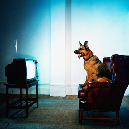 Watching TV「German Shepherd dog sitting on chair watching television」:スマホ壁紙(17)