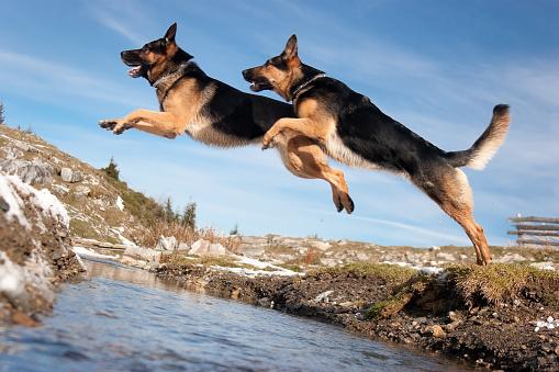 Showing Off「German Shepherd Jumping Over Spring」:スマホ壁紙(14)