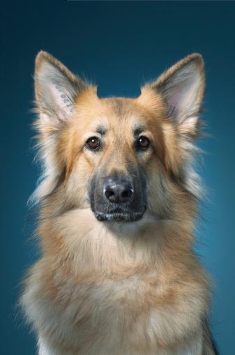 Headshot「German Shepherd」:スマホ壁紙(18)