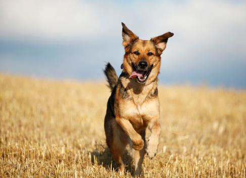 Males「German shepherd mongrel running on a stubble field in front of sky」:スマホ壁紙(3)