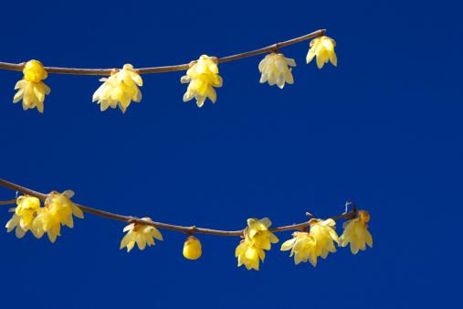 梅の花「Yellow plum blossoms, Saitama Prefecture, Honshu, Japan」:スマホ壁紙(8)