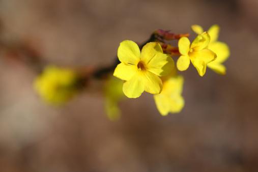 梅の花「Yellow plum blossoms」:スマホ壁紙(16)