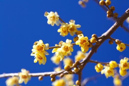 梅の花「Yellow plum blossoms」:スマホ壁紙(15)