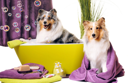 Harlequin「Dog grooming」:スマホ壁紙(3)