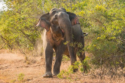 Sri Lanka「Sri Lanka, Asian Elephant」:スマホ壁紙(7)