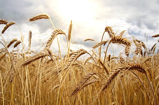 Rye - Grain「Cereal Plant」:スマホ壁紙(2)