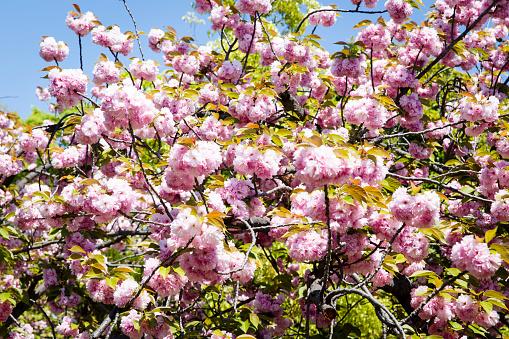 桜「Large Cherry Blossom Tree in Japan.」:スマホ壁紙(9)