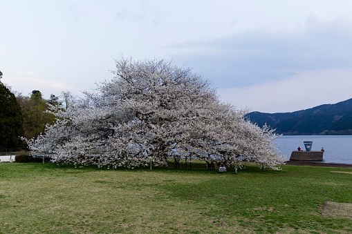 Japan「A Large Cherry Blossom Tree in Full Bloom along the Water's Edge of Ashinoko Lake, Hakone, Japan.」:スマホ壁紙(10)
