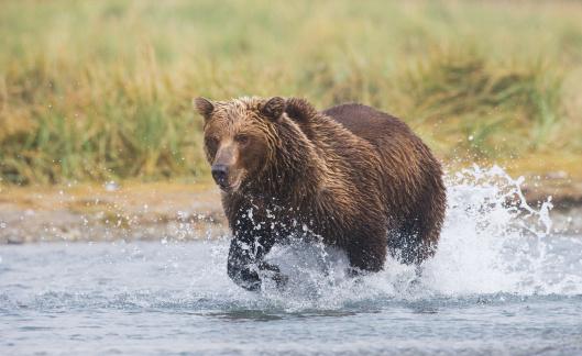 Katmai National Park「Bear chasing salmon」:スマホ壁紙(6)