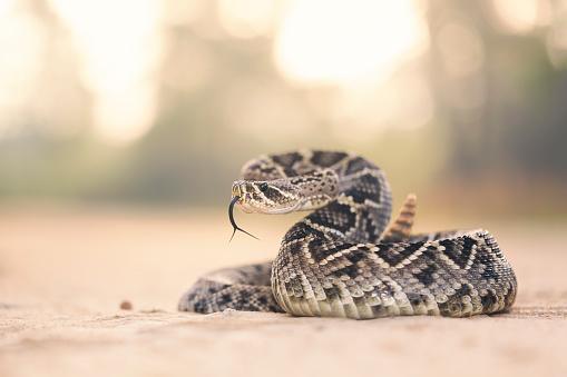 Alertness「Eastern Diamondback Rattlesnake (Crotalus adamanteus), Florida, America, USA」:スマホ壁紙(10)