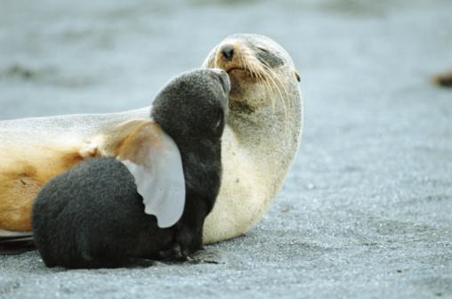 Southern Atlantic Islands「Antarctic fur seal (Arctocephalus gazella) mother holding pup」:スマホ壁紙(16)