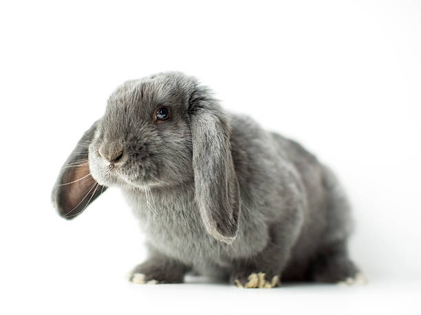 Young grey bunny:スマホ壁紙(壁紙.com)