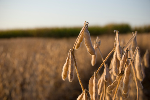 Harvesting「Soybeans ready for harvest」:スマホ壁紙(9)