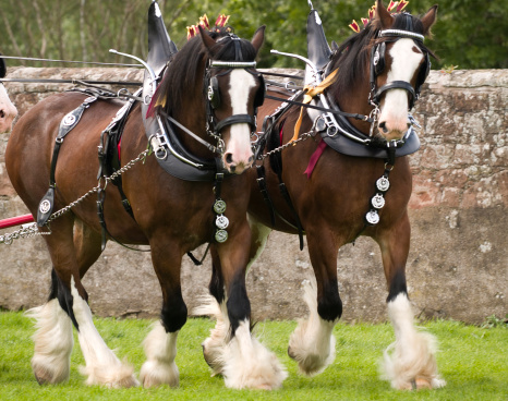 Horse「Clydesdale Horses in full tack」:スマホ壁紙(10)