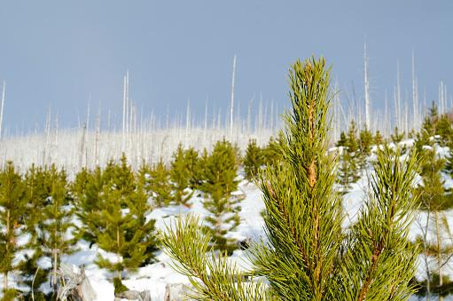 Needle - Plant Part「Forest fire damage in Glacier National Park, Montana.」:スマホ壁紙(10)